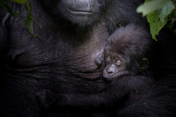 neo-africa-gorillas-7381-web