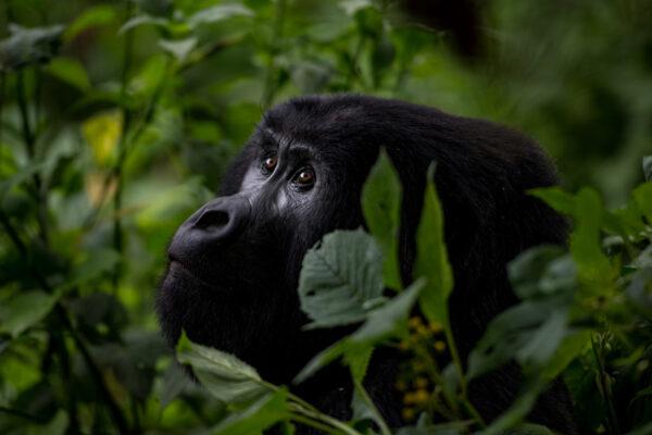 neo-africa-gorillas-9132-web